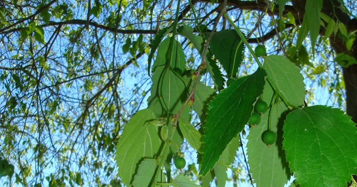 Parquealamillo encinarosa almez celtis australis en for Vivero del parque
