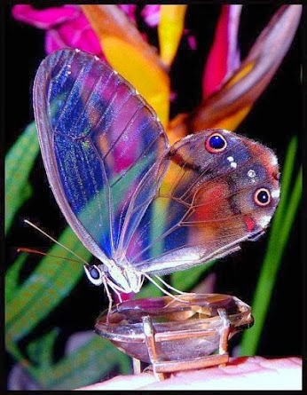 Magnificent Transparent Butterfly Pictures