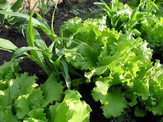 9 июня, салат и кукуруза