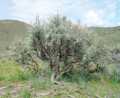 Big Sagebrush (Artemisia Tridentata) Overview, Health Benefits, Side effects