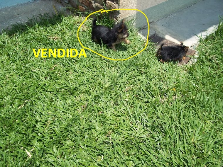HEMBRITAS  YORKSHIRRE TERRIER $ 1.000.000