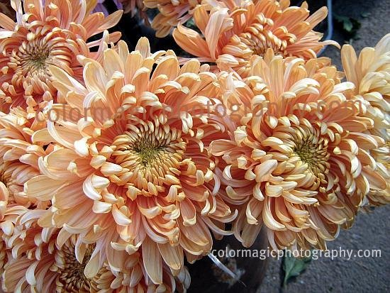 Orange Chrysanthemums-closeup