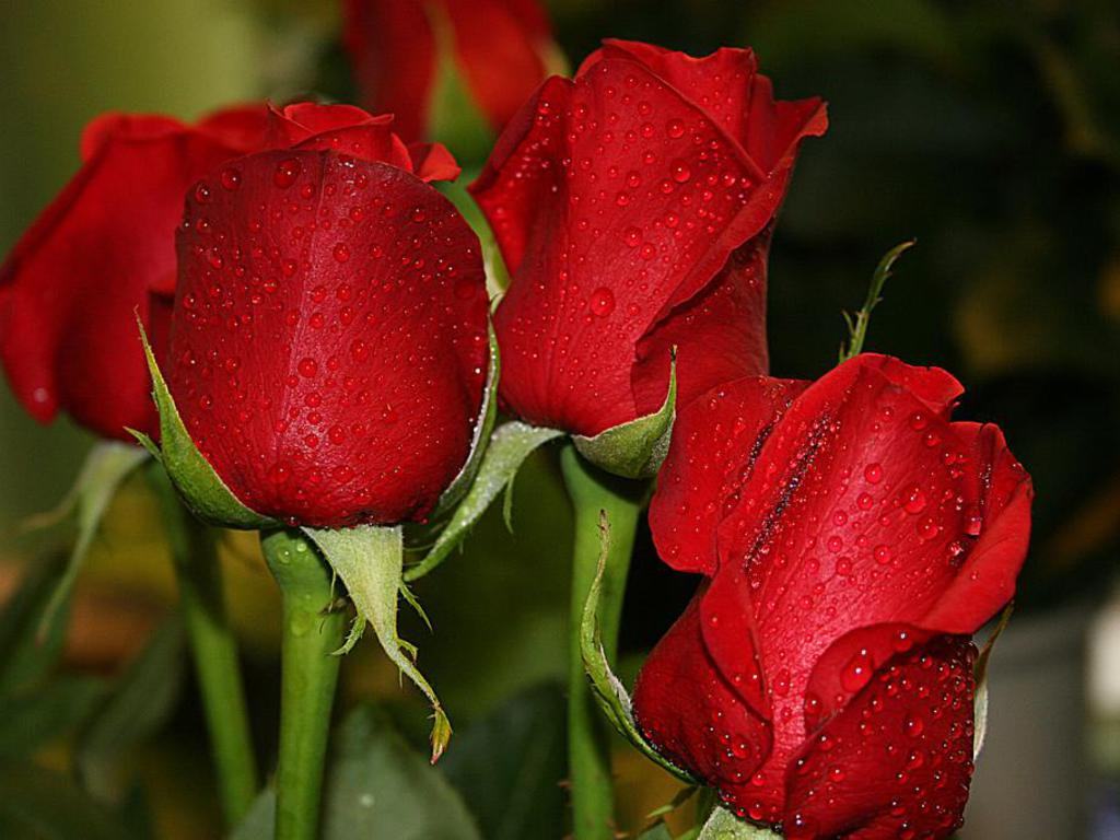 17 beautiful red rose - photo #33