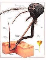 Dientes de un mosquito