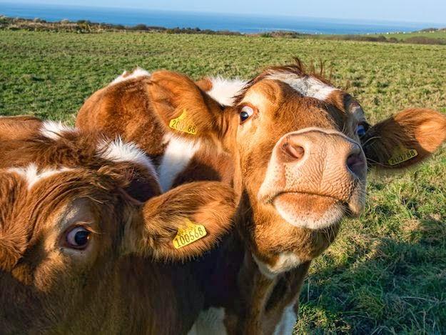 vacas amigas fieles