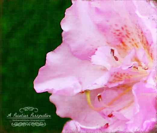 azalea floral photography canvas