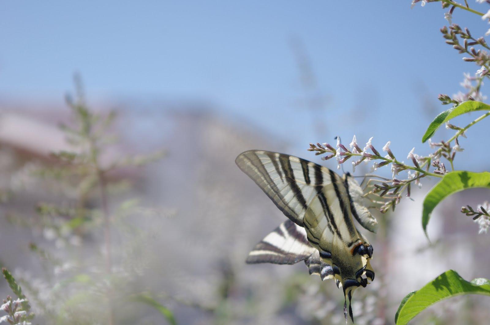 borboleta na Penina