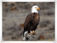 Eagle Animal Pictures