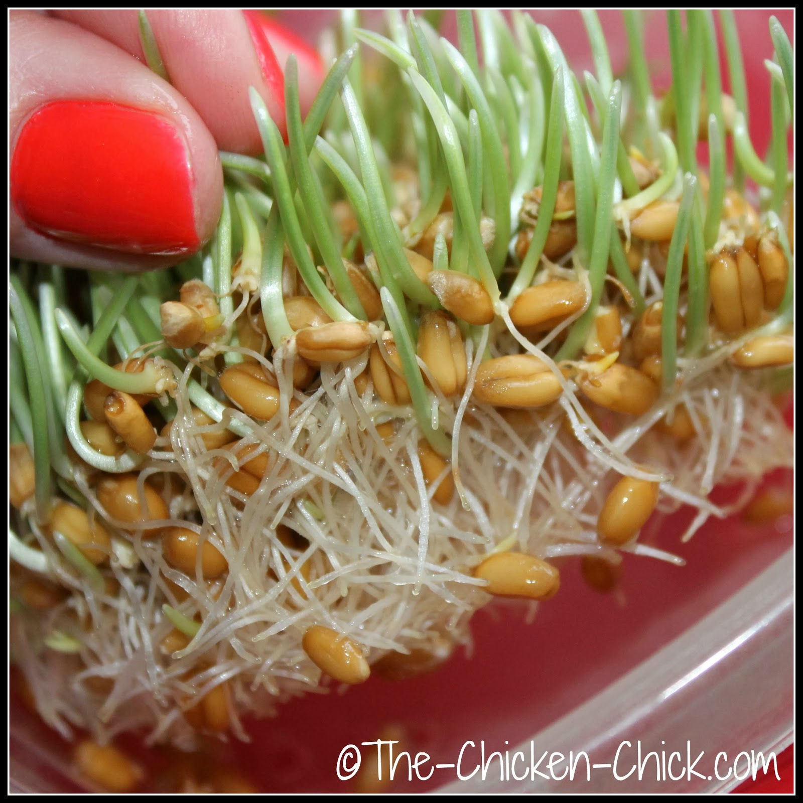 wheat sprouts for chickens at day four of growth