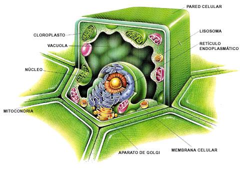 celula vegetal y sus partes. El contenido de la célula que