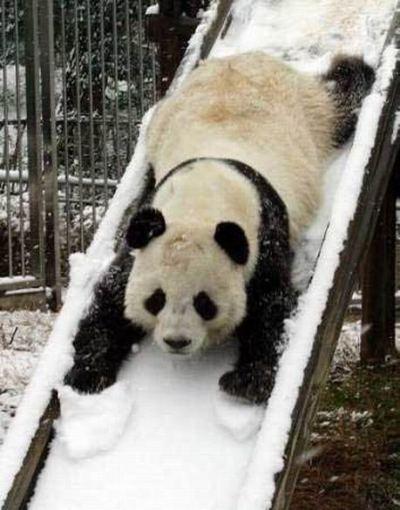 foto panda lucu , panda lucu