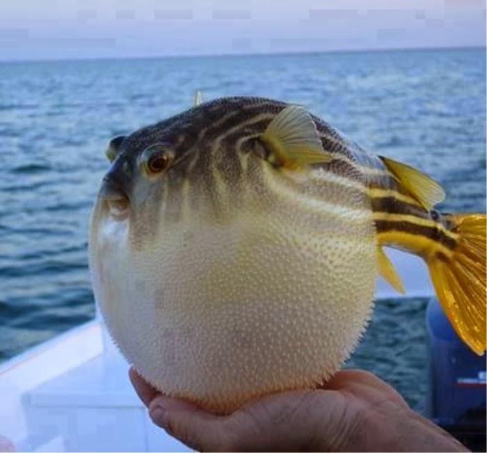 Golden Puffer fish