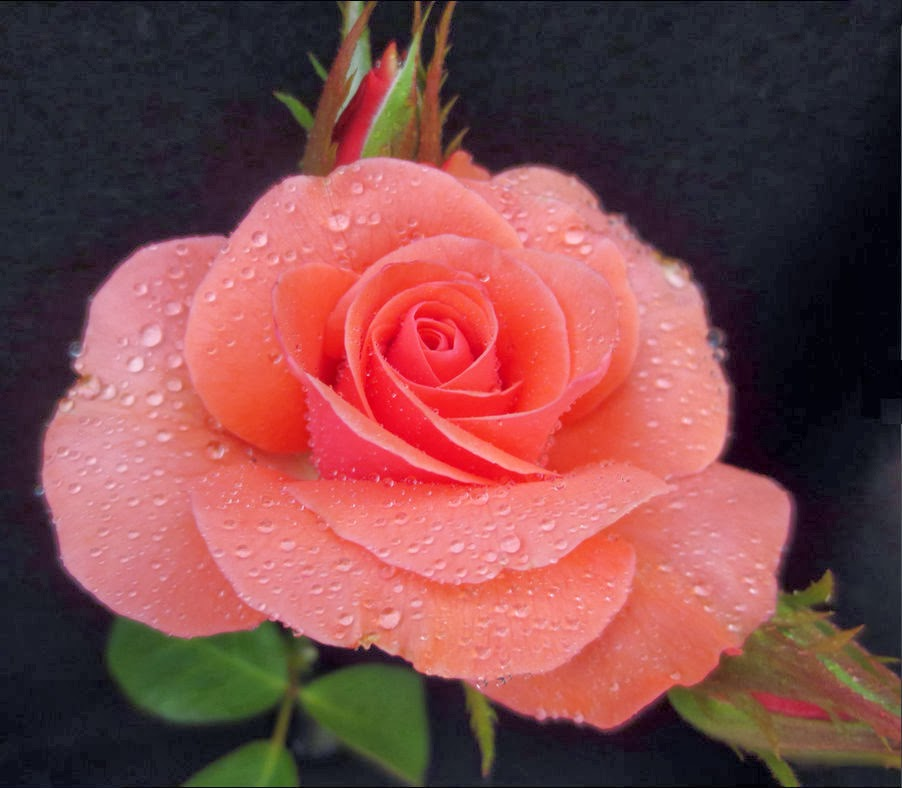 Coral colored roses 28 images coral colored roses - Rosas color coral ...