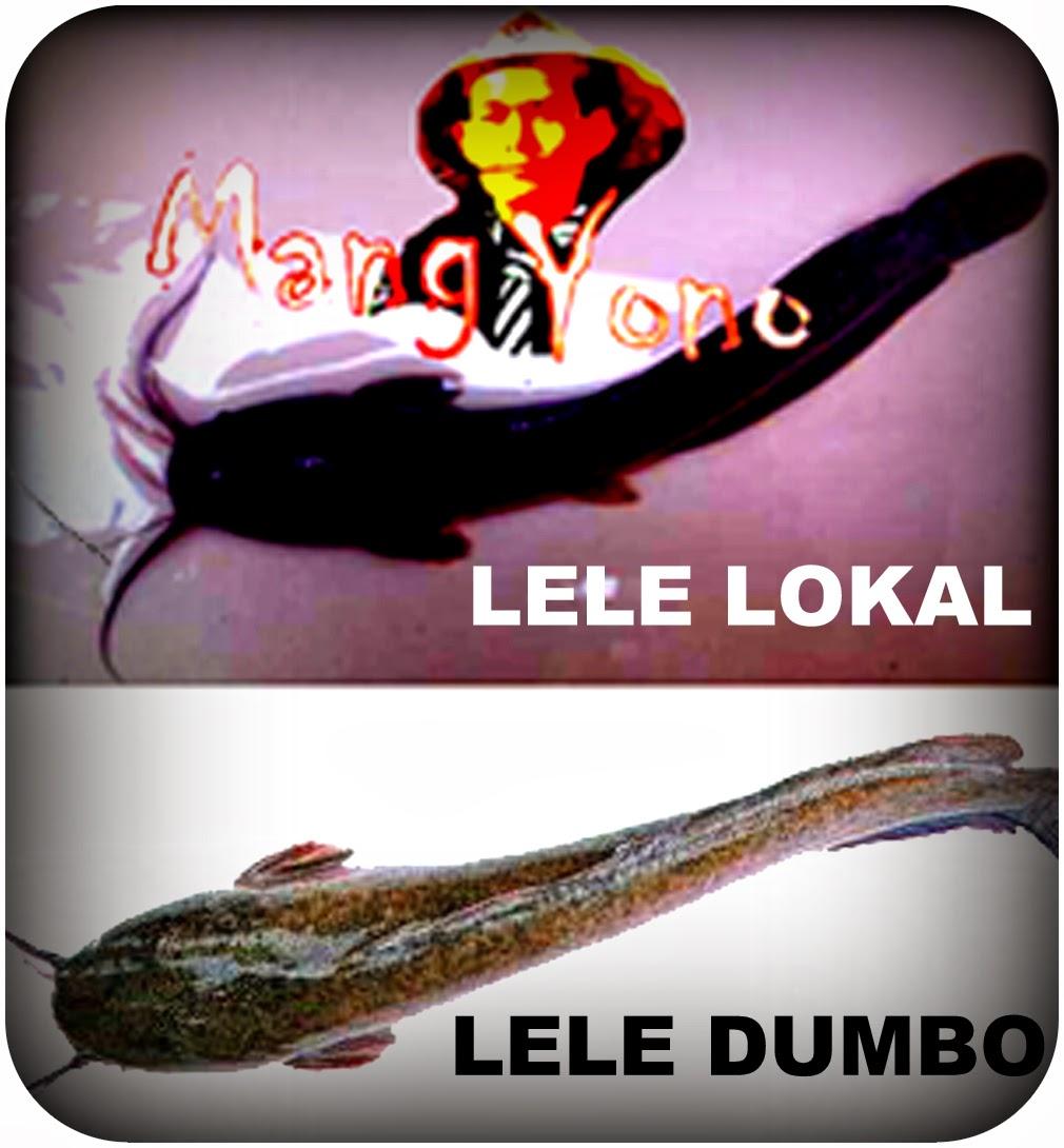 Cara membedakan Ikan Lele LOKAL dengan Ikan Lele DUMBO