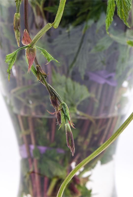 Humulus lupulus divji hmelj close up v vazi