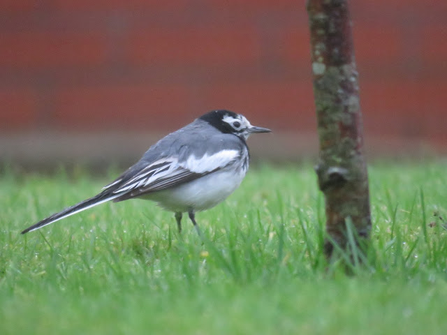 MASKED WAGATAIL-CAMROSE-PEMBROKESHIRE-9TH DECEMBER 2016