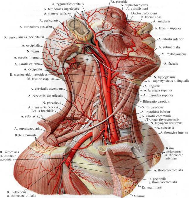 plexus brachial anatomie descriptive pdf