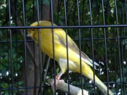 Burung Kenari - Solusi Penangkaran Burung Kenari -  Kode Ring Kenari Import Pada Negara Kroasia