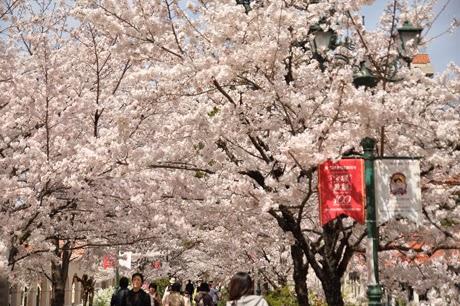 日本京都櫻花季9天8夜自助旅行懶人包