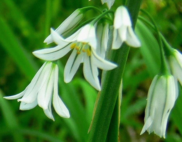 Fleur aïl triquètre