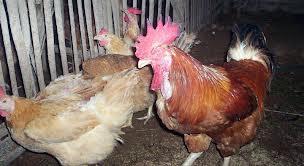 cara budidaya ayam pelung