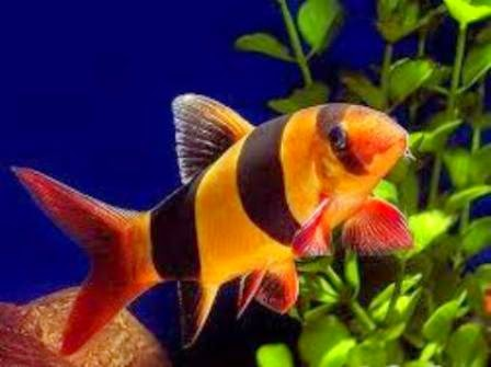 ... Freshwater Tropical Fish Care for The Clown Loach - Freshwater Fish