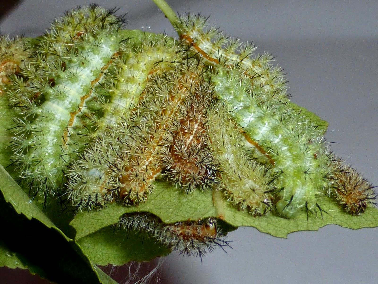 Automeris io caterpillar