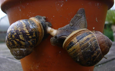The sex life of snails