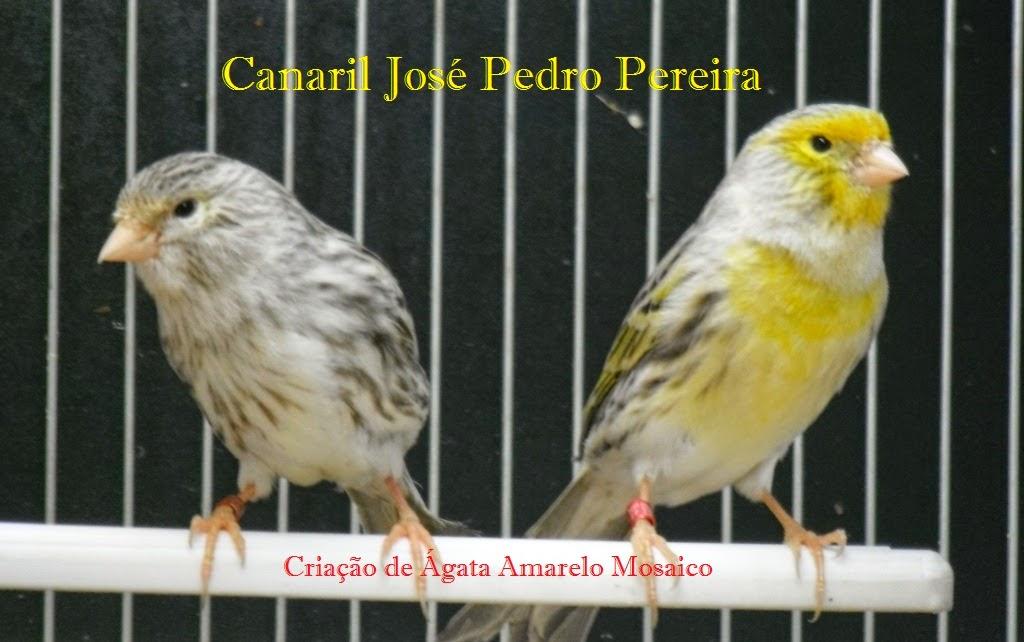 Canaril José Pedro Pereira