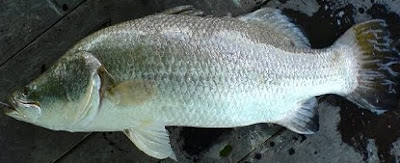 tips jitu teknik memancing,cara memancing ikan siakap laut,kolam, teknik memancing siakap, umpan,2015,