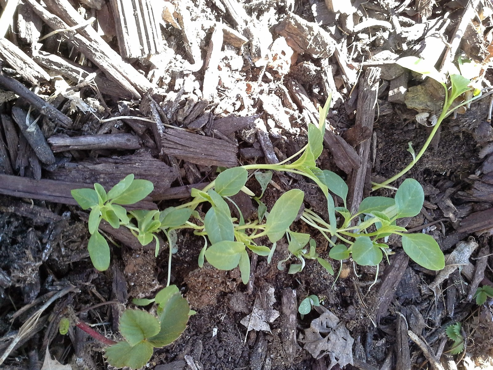 Amaranth Seedlings