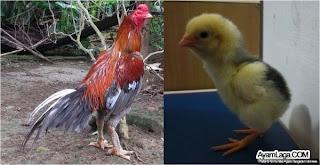 ayam bangkok dan anakan kudhok
