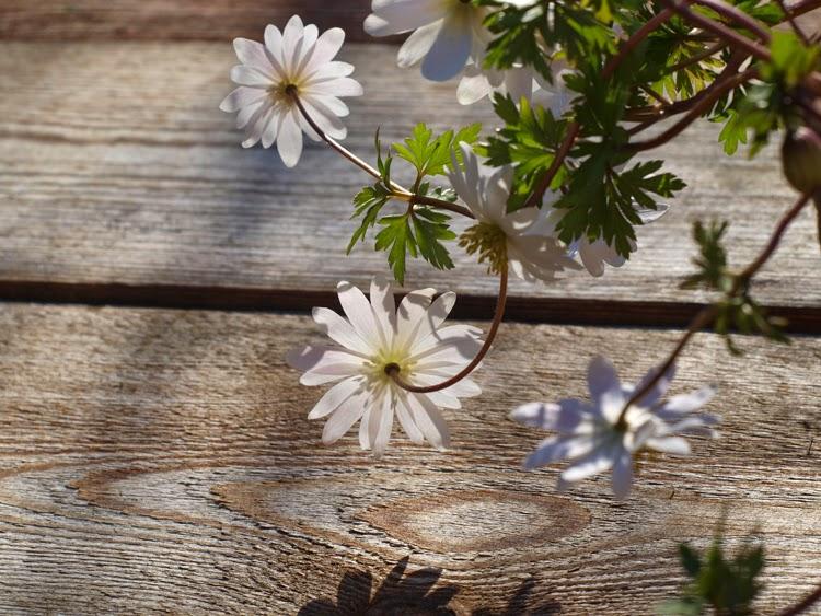 Hvide balkan-anemoner i krukker giver forårsstemning til haven