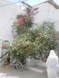 le jasmin dans la cour de ma maison à Nabeul