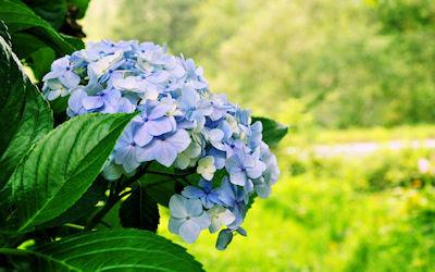 Flores de Hortensias - Hydrangea de Japón
