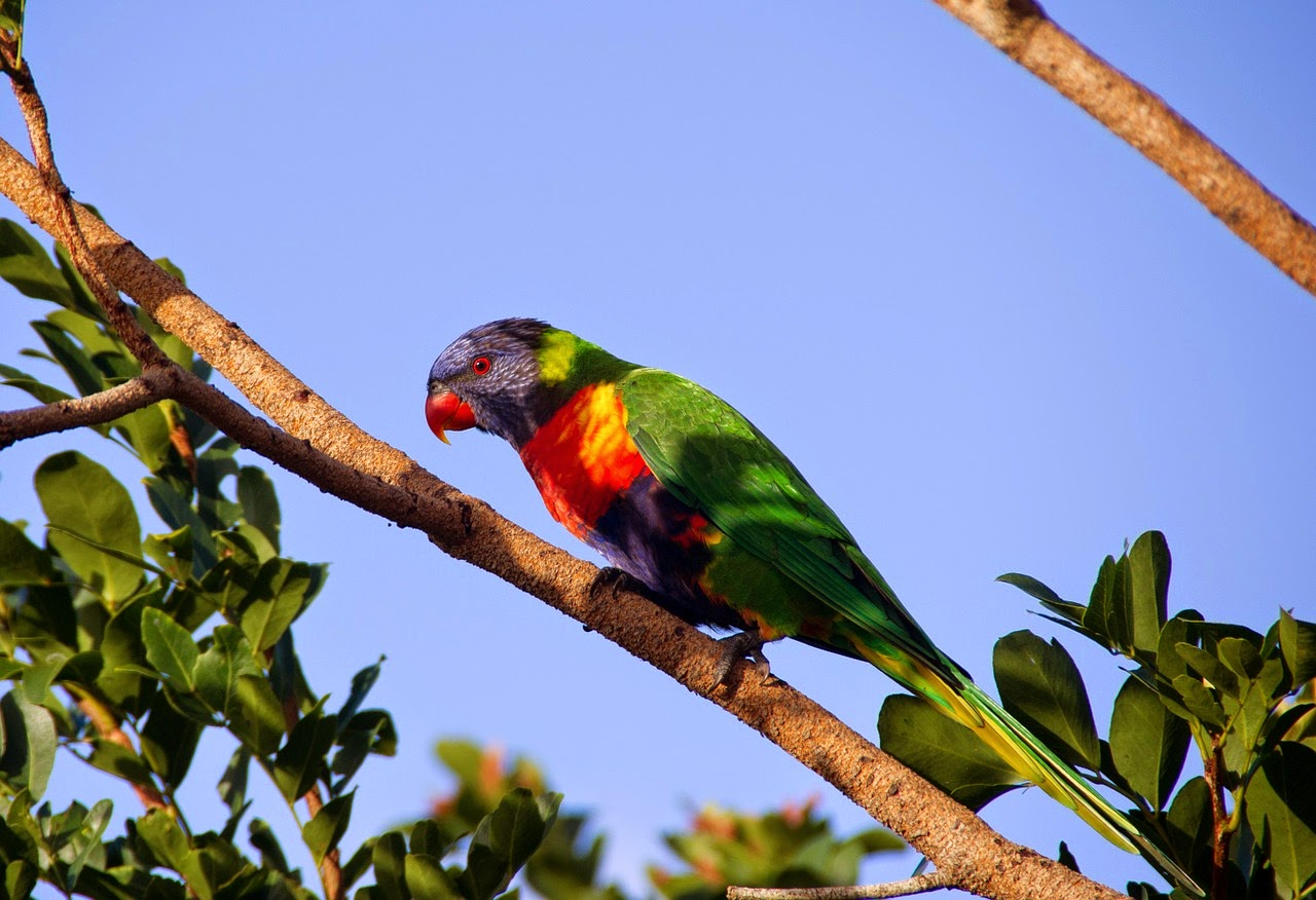 rainbow-lorikeet-pixabay