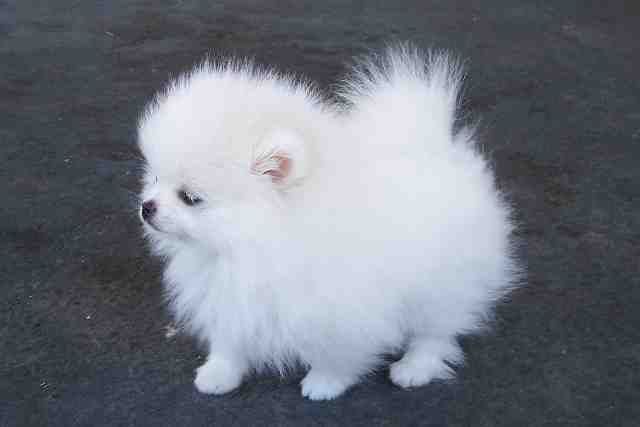 Is This A Dog Or Cotton Ball Teacup Pom