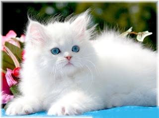 persian cat pets animal domestic kitten wallpaper pictures