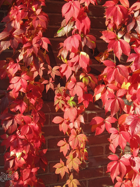 bright red ivy