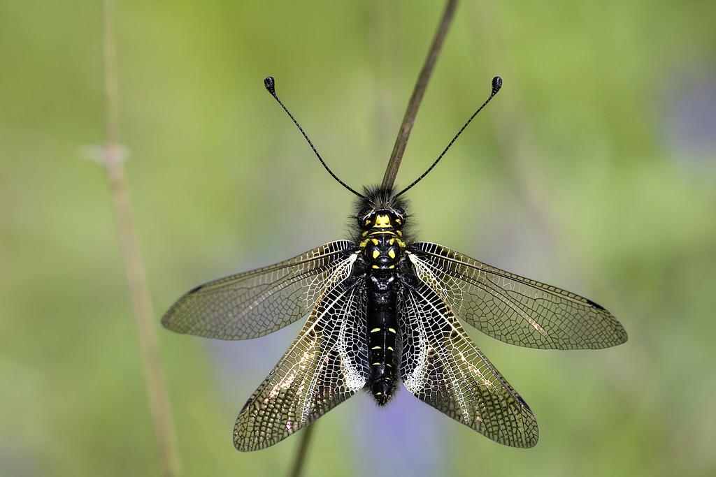 Para ampliar Libelloides hispanicus (Rambur, 1842) hacer clic