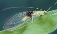 http://sciencythoughts.blogspot.co.uk/2012/08/a-new-species-of-green-lacewing.html