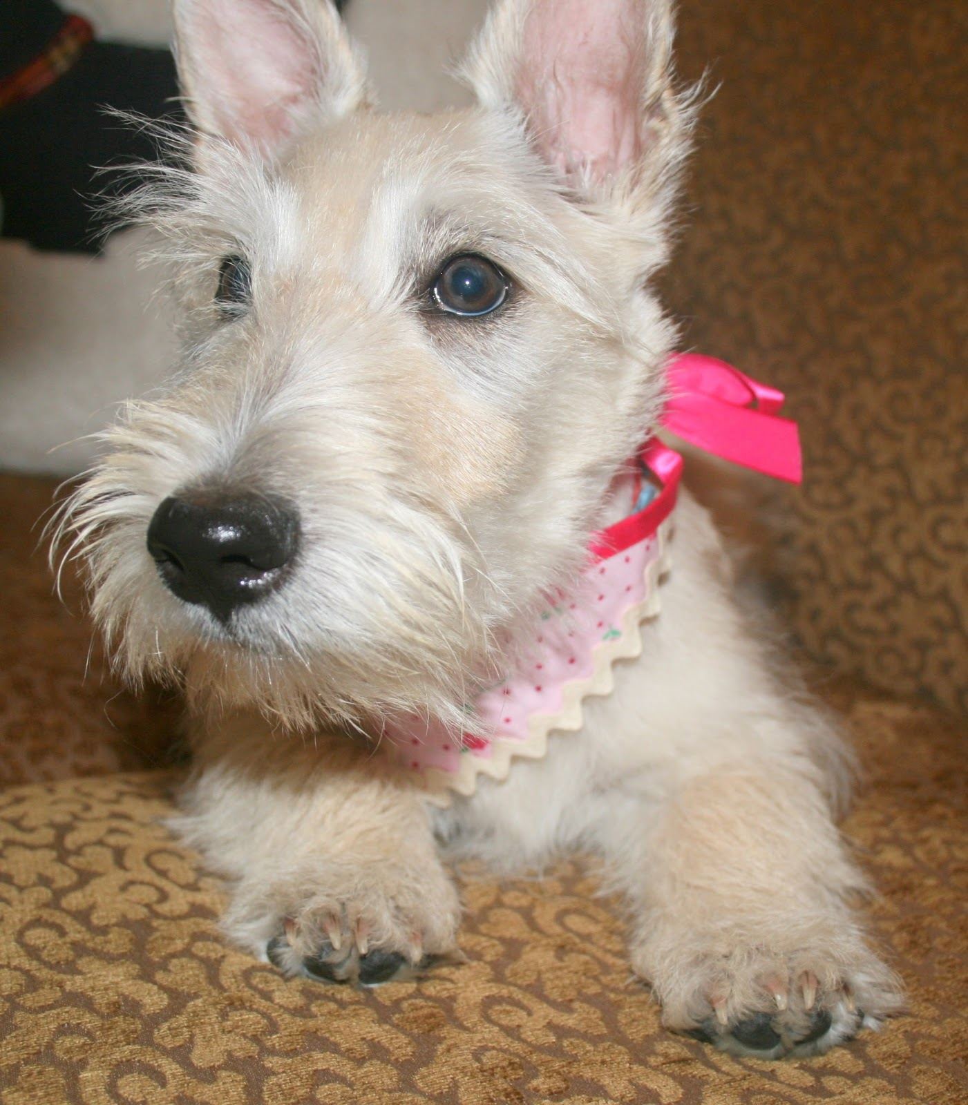 4 month wheaten scottie