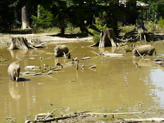 Wildschweine in der Grünwalder Sauschütt