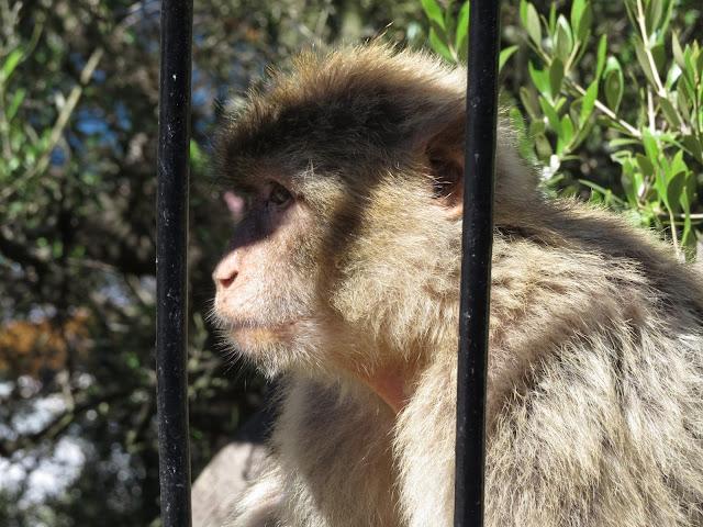 Monkey - Gibraltar
