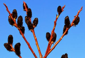 black-pussy-willow-plant