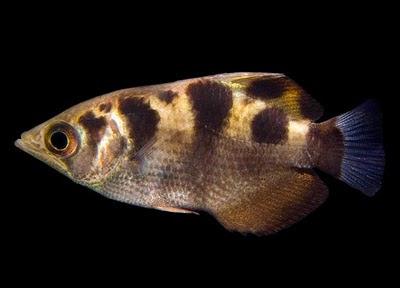 gambar ikan pemanah
