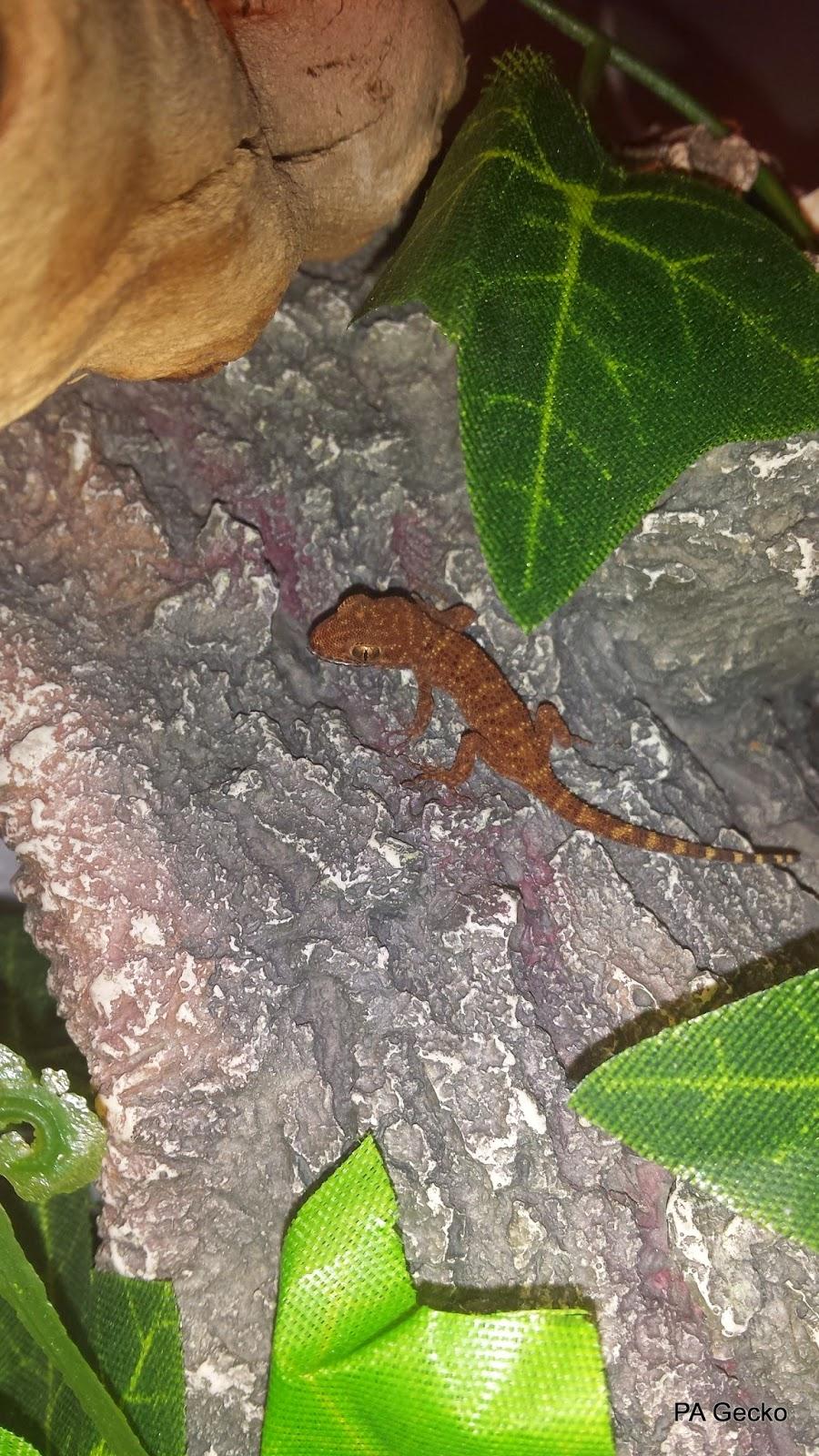 PA-Gecko-Binoei-2