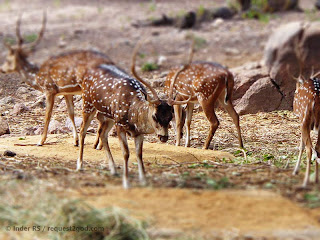 Chital Deer eating