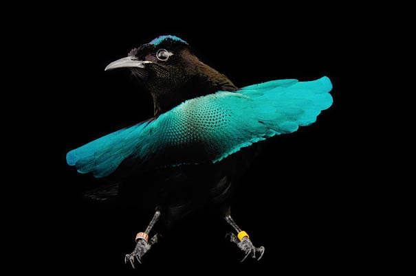 Superb Bird of Paradise - 22 Bizzarre Animals You Probably Didn't Know Exist