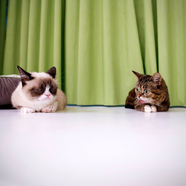 Grumpy cat meets Lil Bub (pic + video), grumpy cat pic, lil bub pic, cute cats pics
